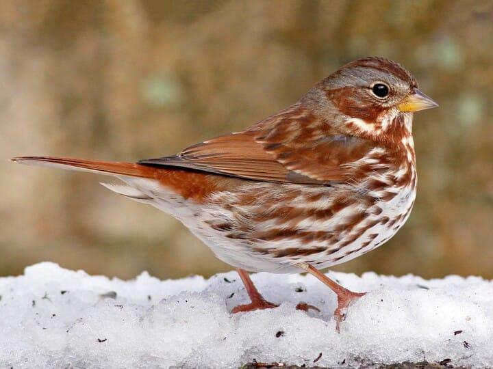 MBTI enneagram type of Fox Sparrow