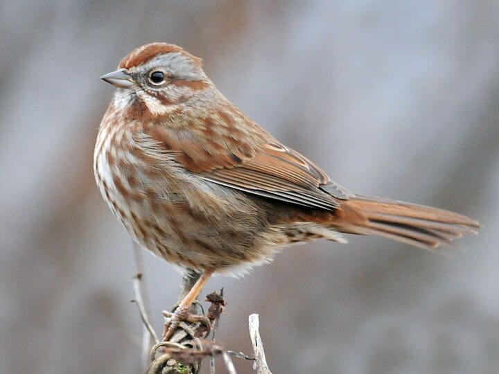 List of Synonyms and Antonyms of the Word: songsparrow
