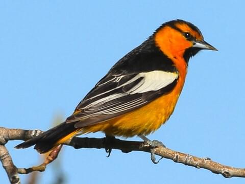 Image result for bullock's oriole
