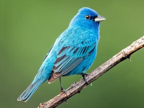 eastern bluebird overview, all about birds, cornell lab of ornithology