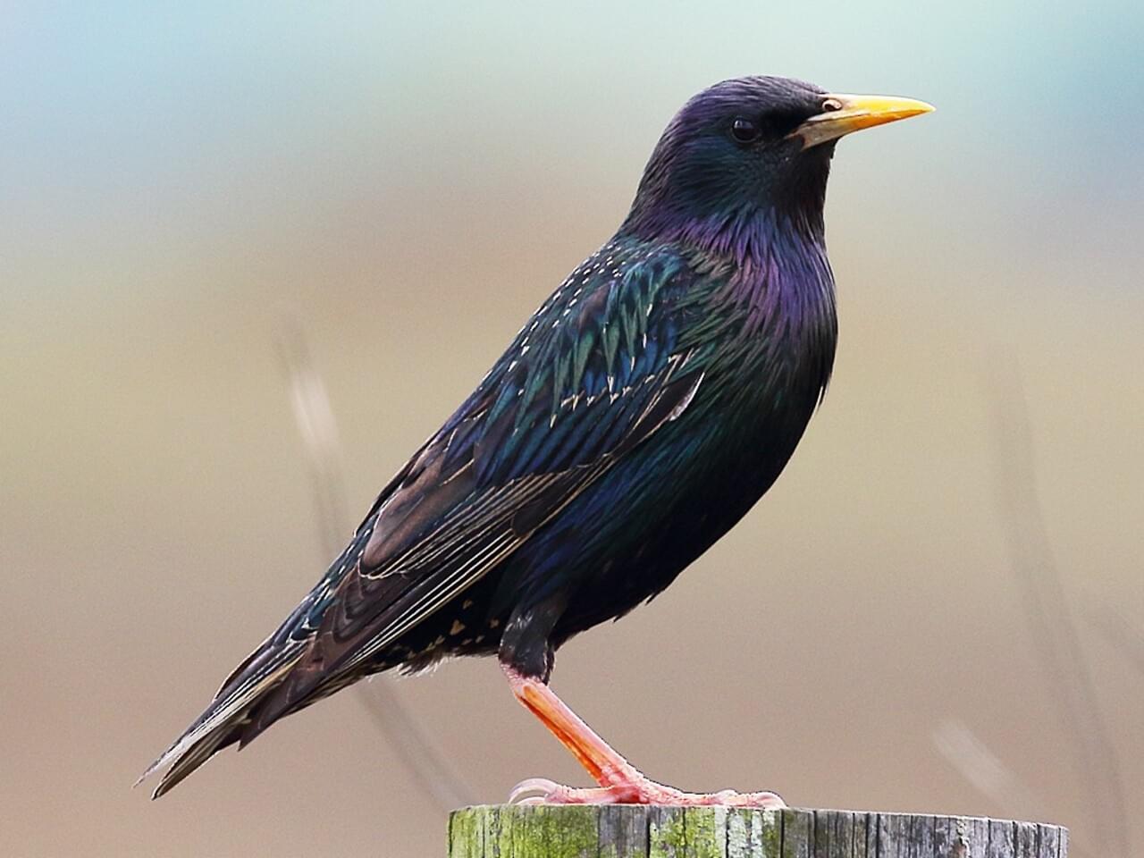 European Starling Breeding adult