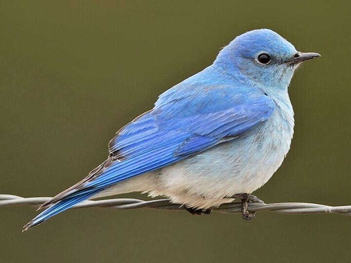 mountain bluebird identification, all about birds, cornell lab of