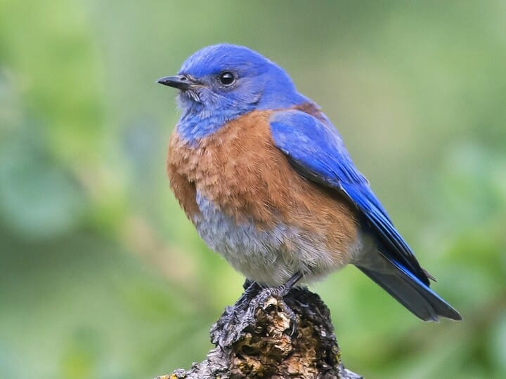 western bluebird identification, all about birds, cornell lab of