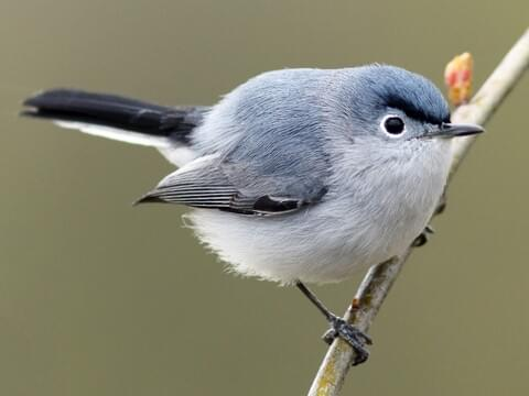 Blue Gray Gnatcatcher Breeding Male Is Similar To Northern Mockingbird