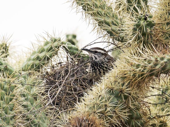 Cactus Wren Identification, All About Birds, Cornell Lab of Ornithology