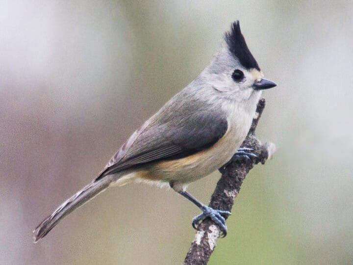Black crested titmouse identification all about birds cornell lab adult small crested songbird sciox Images
