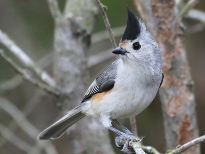 Black crested titmouse identification all about birds cornell lab adult sciox Images