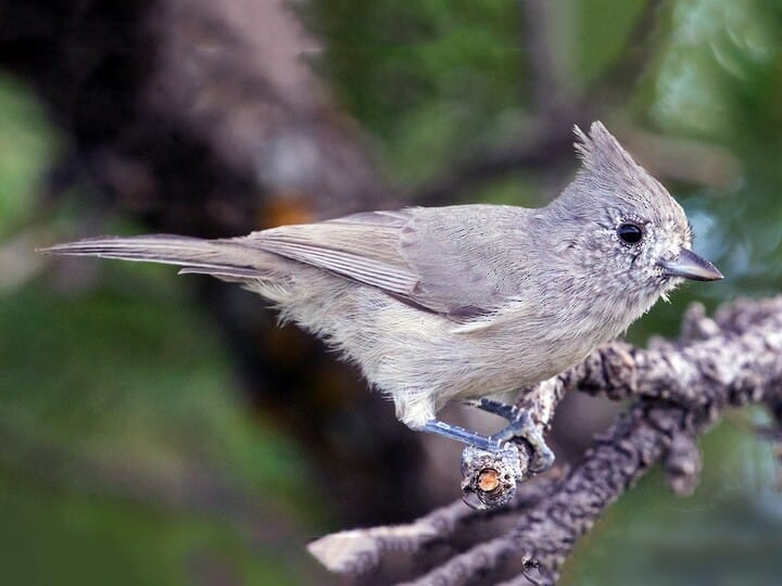 Juniper titmouse identification all about birds cornell lab of juniper titmouse small crested songbird sciox Images
