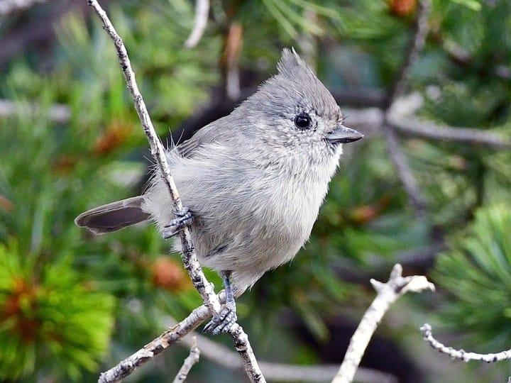 Juniper titmouse identification all about birds cornell lab of juniper titmouse sciox Images