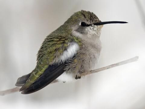 Lucifer Hummingbird in Flight - Laura Meyers Photograpy