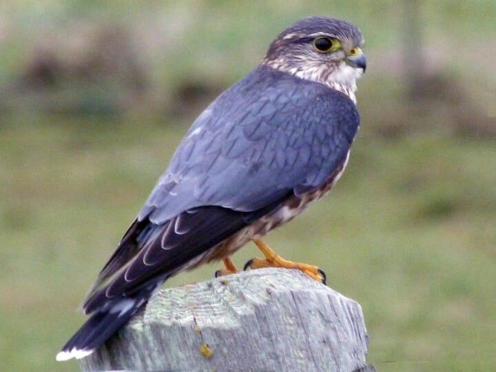 Merlin (Taiga) Adult male (Taiga)