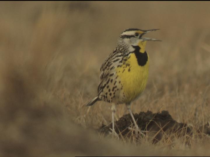 Eastern Meadowlark Bird