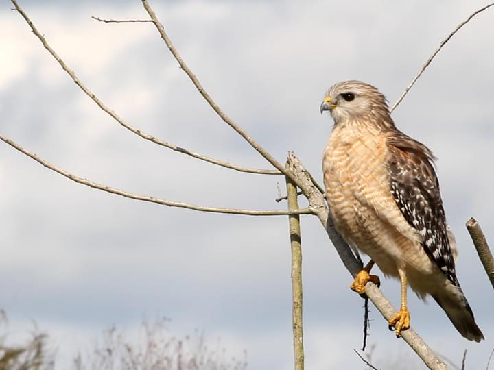 Red Shouldered Hawk Identification All About Birds Cornell Lab Of
