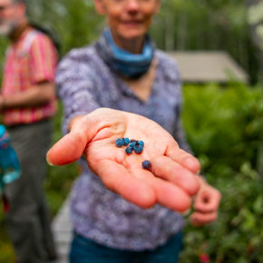 Hiker holding out fresh picked blueberries on hiking trail