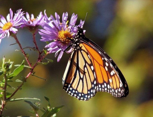Monarch on a flower