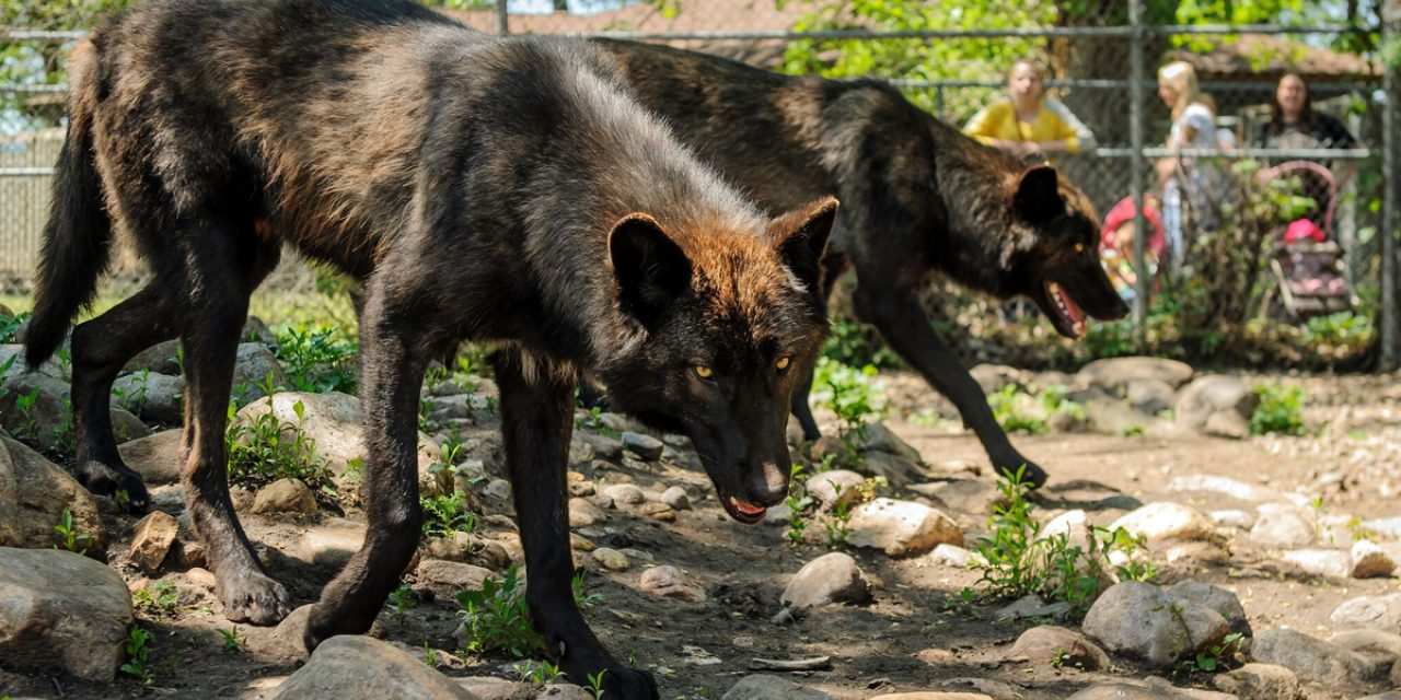 Wolves at Bramble Park Zoo in Watertown, SD