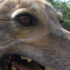 Rob Mitchell | Alice the Greyhound | Dad's garden, Broadway, UK