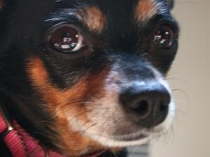 suzie | puppy dog eyes | Alvarado, TX