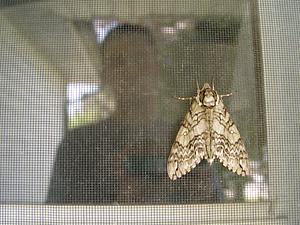 Steve Dow | moth screen | Penfield, New York, USA