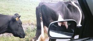 Derek Walker | Cows on a Road | Low Row, England