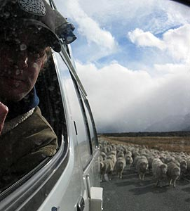 Ian Lloyd | The sheep are doing the mustering | The road from Mt Cook, New Zealand