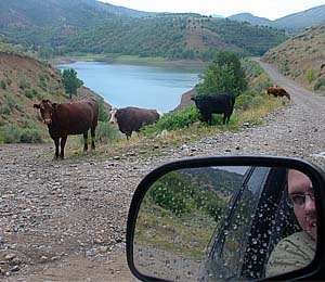 Erik G | Cows on the road | Porcupine Dam - Cache Valley, UT