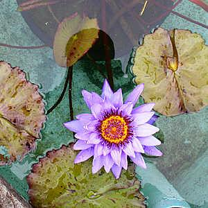 massimo mion | I fiori nelle piscine di Villa Taranto | Lago Maggiore