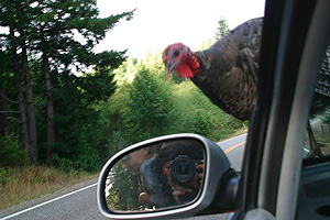 webchick | Attack of Tom T. Turkey | Sixes, Oregon