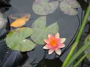 Moira Clunie | Water Lily | Kelston, Auckland, New Zealand