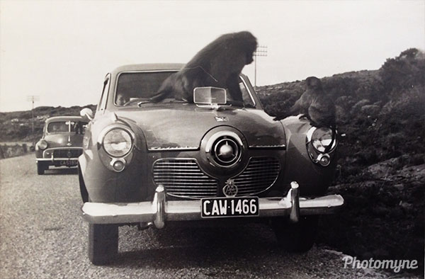 Cape Point, with the Studebaker and baboon... South Africa 1954