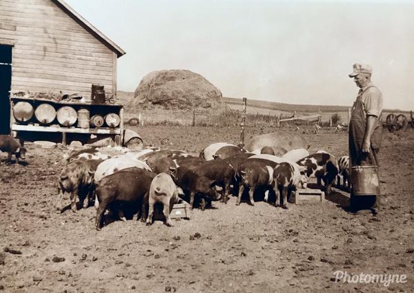 Grandpa Wagner's prized pigs. Nebraska, USA 1940