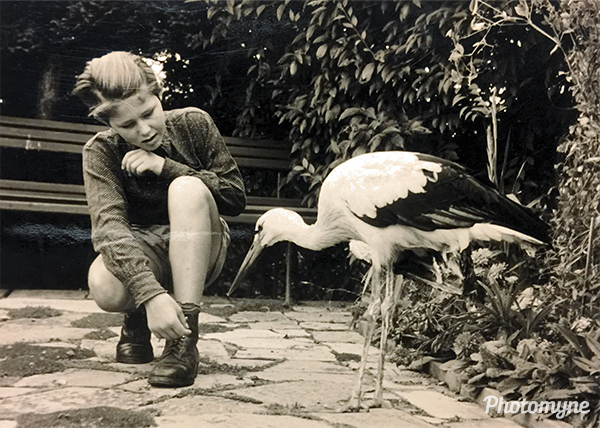Fütterung des verunglückter Storch's (feeding the stork that cannot fly). Germany 1957