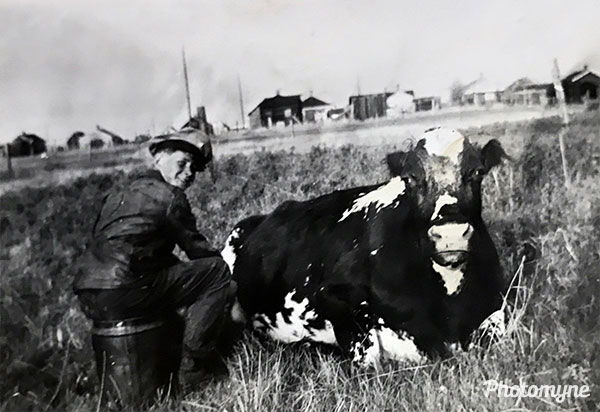 Tired cow, Harvey milking the old cow. USA 1941