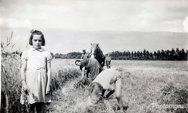 Harvesting Rye, Gelderland. Netherlands 1947