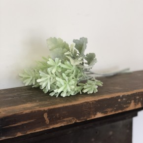 Bundled Dusty Miller