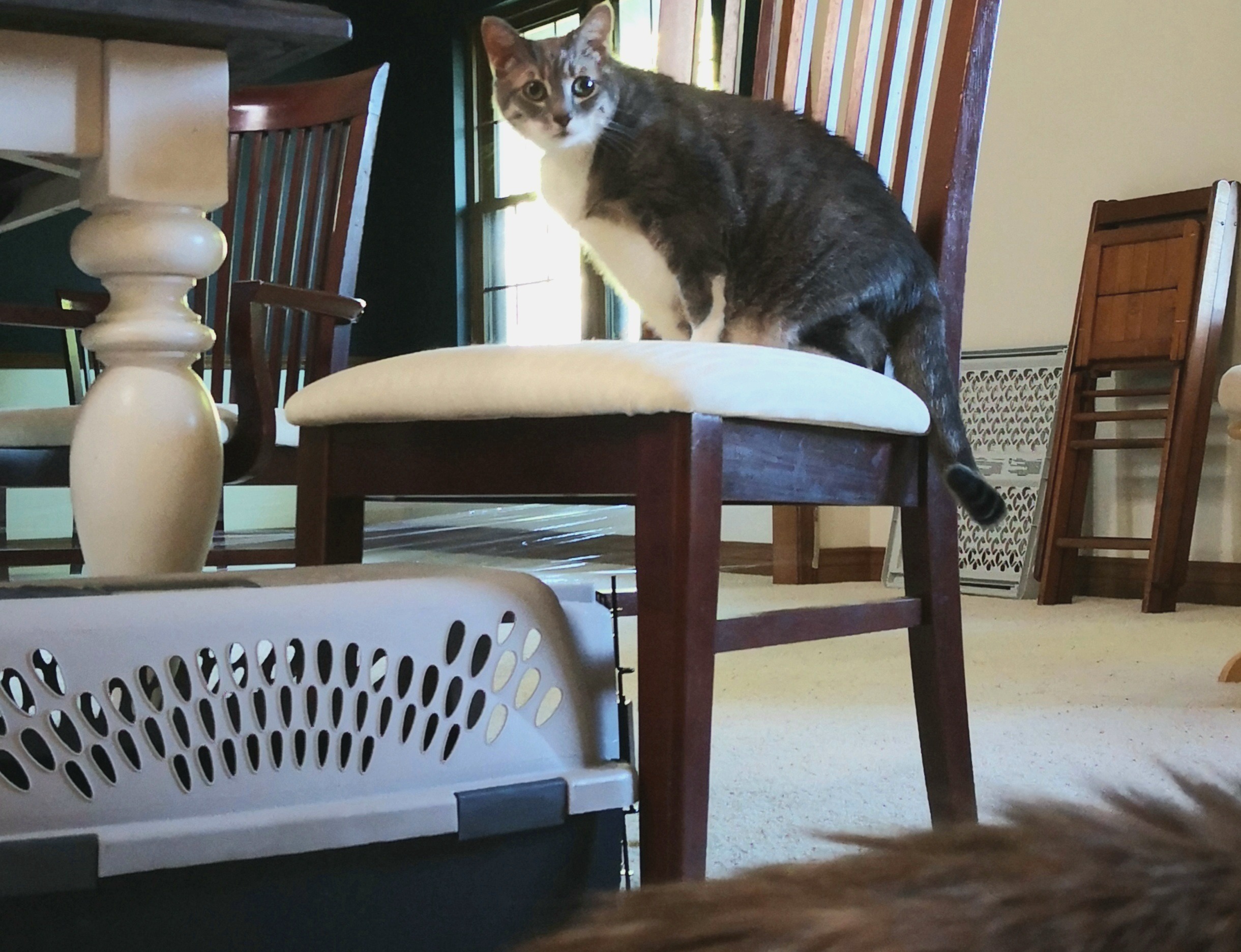 Cat asserting dominance by getting on high ground as another cat approaches