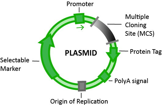 Plasmid Map Illustration, Cloning, Multiple Cloning Site