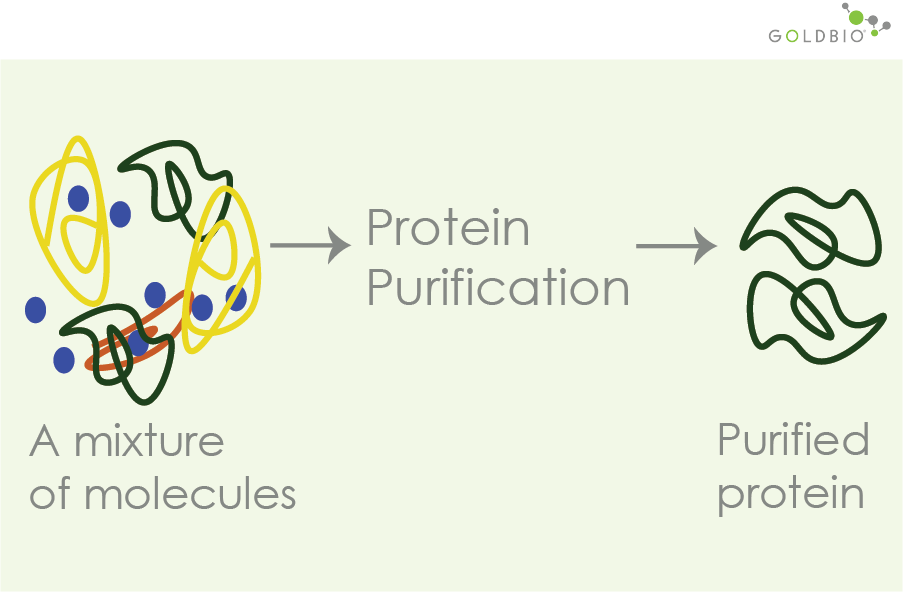 illustration of how protein purification works using column chromatography. Protein purification separates out a mixture of molecules to isolate your protein of interestProtein purification, purified protein