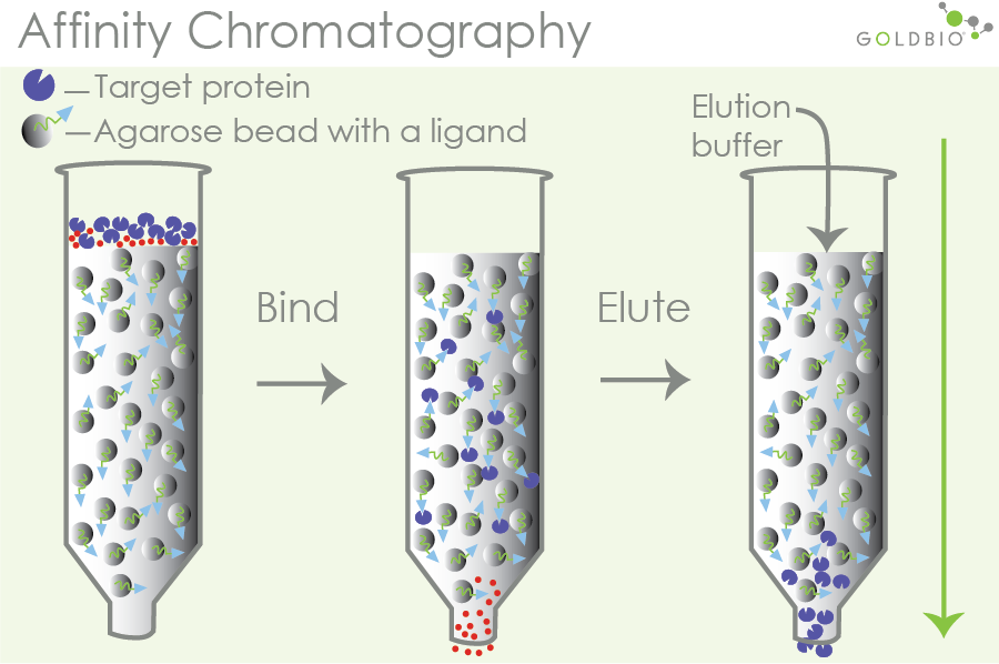 how affinity chromatography works to separate out target proteins based on ligands and protein affinity