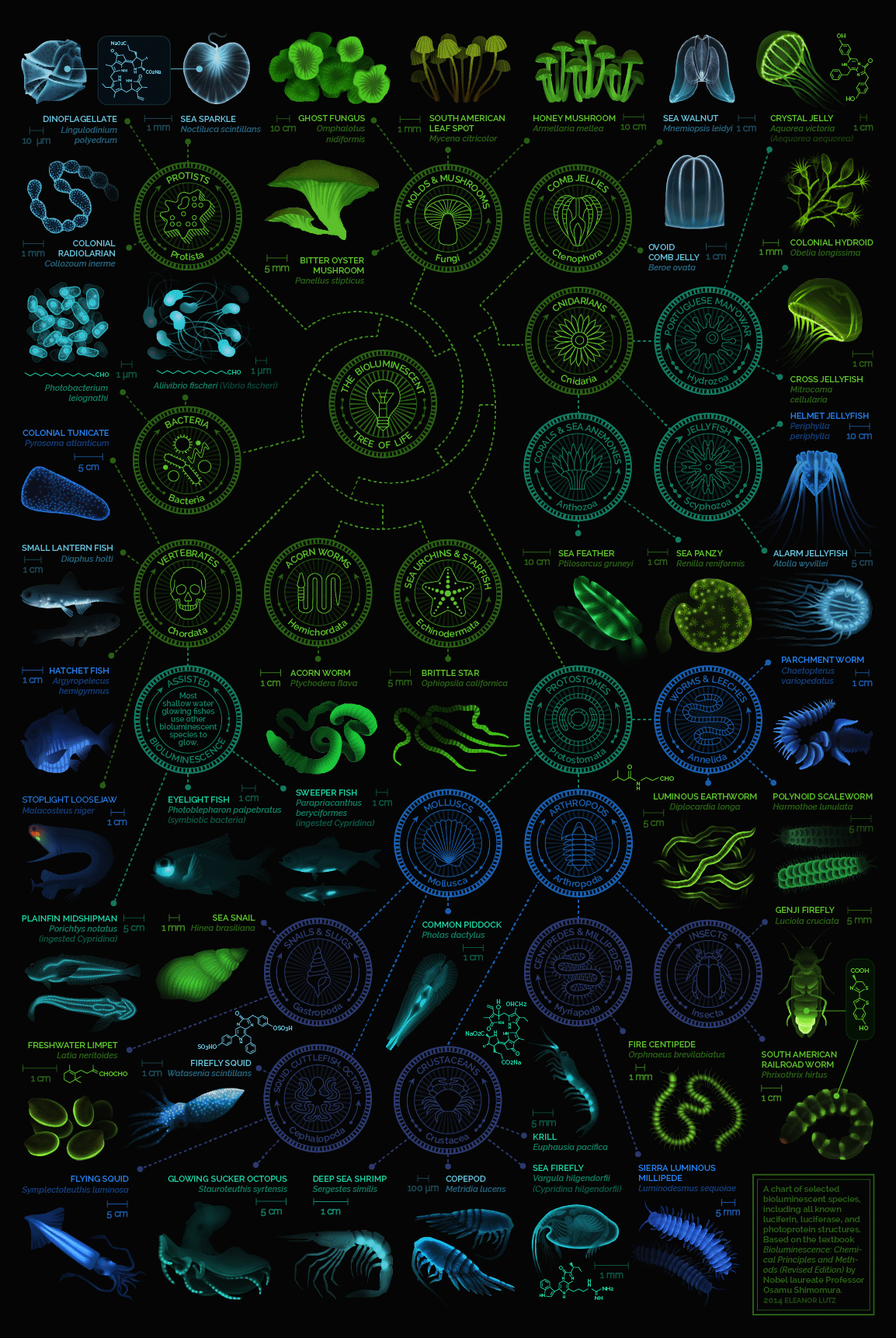 Bioluminescent tree of life by Eleanor Lutz catalogs several bioluminescent organisms and their organizations. Much like early works by Pliny the Elder's, Kircher's and Gessner's works cataloging bioluminescent phenomena