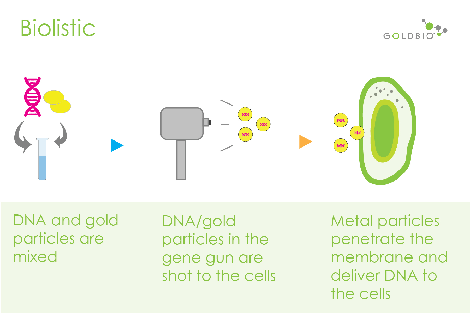 Biolistic-mediated transformation process illustratrion showing the mixing of DNA and nano particles, a gene gun that shots DNA into cells, and the penetration of DNA into the plant cell membrane. Biolistic-mediated transformation can use intact-plant tissue.