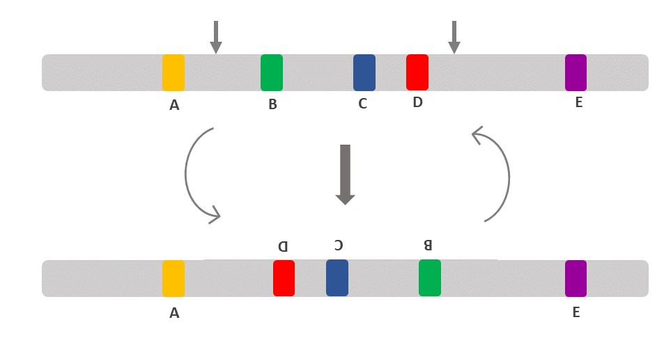 Illustrates a chromosomal inversion of a segment between two specific sites. In this figure, B, C and D segments are inverted. Inversion is represented on a competent cell genotype as INV