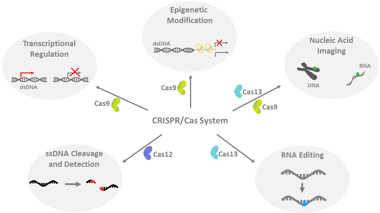 Different CRISPR/Cas systems and their applications.