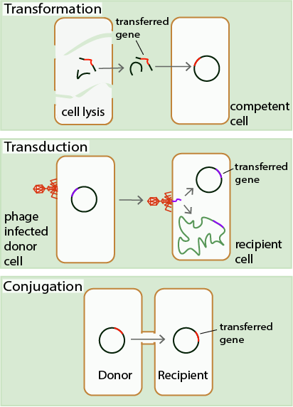 Transformation, Transduction, Conjugation, Horizontal Gene Transfer, HGT