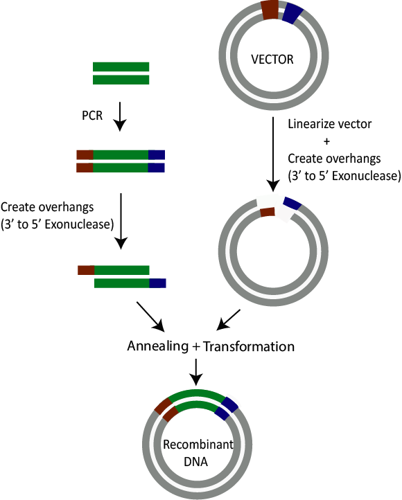 Ligation Independent Cloning - Illustration of how ligation independent cloning works - Ligation independent cloning (LIC) is performed by generating short sequences at the end of a DNA insert that match to the short sequences of a plasmid vector.