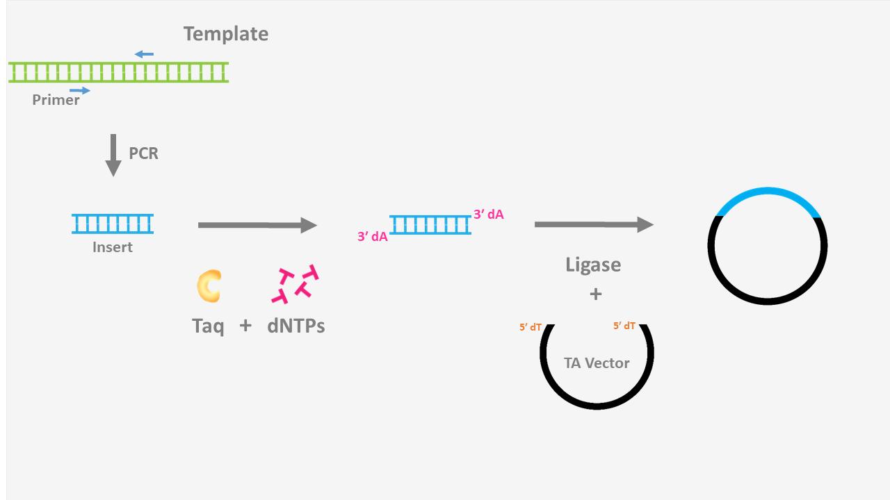 T4 DNA Ligase, Cloning