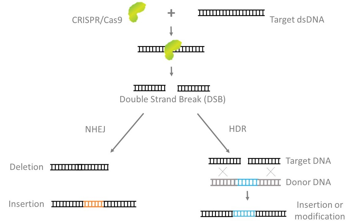 DNA repair mechanisms, NHEJ and HDR, are triggered by CRISPR/Cas9-induced Double-stranded breaks, resulting in different gene editing outcomes.
