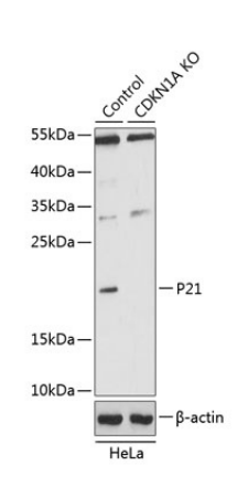P21 Antibody