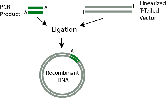 PCR Cloning - illustration of how PCR cloning works in recombinant DNA - PCR cloning relies on a process called ligation, which is a method of inserting a DNA fragment into a vector using DNA ligase.