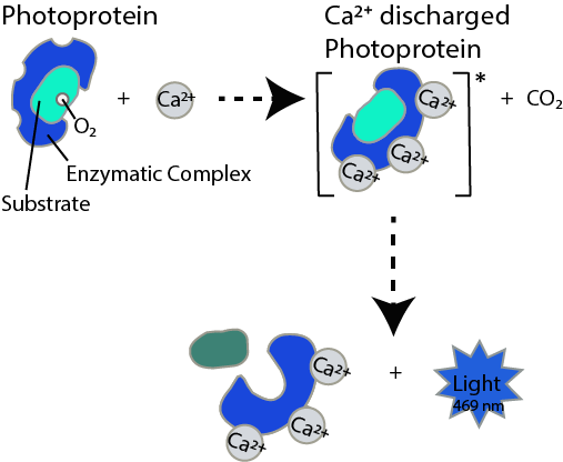 Photoprotein System, Bioluminescence